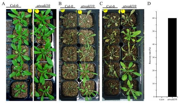 atwakl10 plants exhibit drought tolerance.