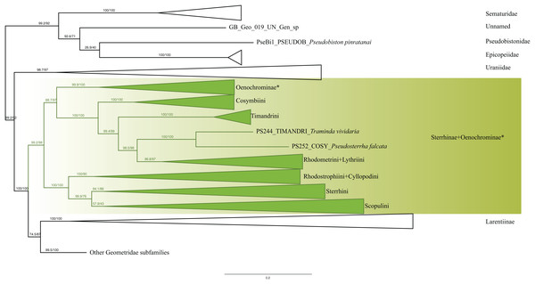 Evolutionary relationships of the subfamily Sterrhinae.