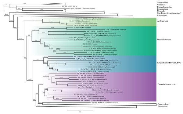 Phylogenetic relationships of the subfamilies Archierinae, Desmobathrinae, Epidesmiinae subfam. nov., Oenochrominae.