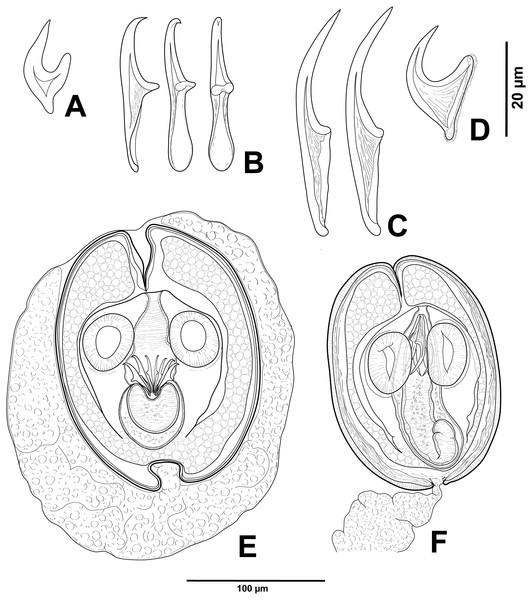 Cestode larvae from Artemia persimilis, Amarga lagoon (A, E) and Los Cisnes lagoon (B–F), Chile.