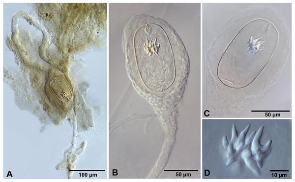 Confluaria podicipina (Szymanski, 1905) from Artemia persimilis, Los Cisnes lagoon (A) and Amarga lagoon (B–D), Chile (mounts in Berlese's medium).