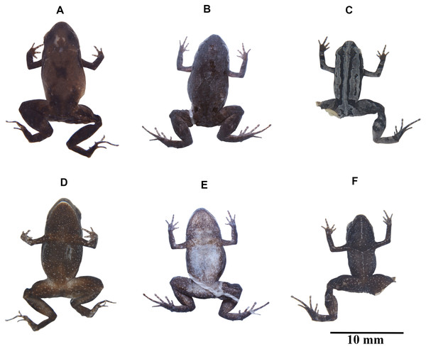 Variation in coloration of preserved Noblella naturetrekii sp. n.