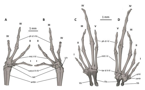 Osteology of the limbs of Noblella naturetrekii sp. n. (paratype, DHMECN 14420).