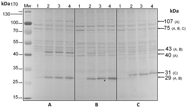 Immunodetection by western blot with anti-pThr antibodies of pp75 from in vitro cultures of Symbiodinium KB8 (A), Symbiodinium Mf11 (B) and Symbiodinium kawagutii (C), incubated for 12 h in darkness (lanes 1) and after stimulation with light for 30 (lanes 2), 60 (lanes 3) and 240 (lanes 4) min.
