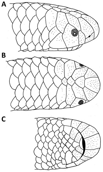 Drawings of the head of the holotype of Epictia rioignis sp. nov. (NMW 15446:6).