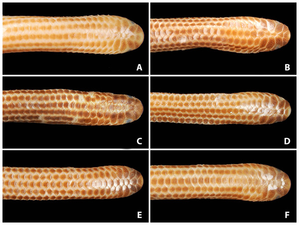 Comparison of dorsal views of the heads of holotype (NMW 15446:6, A) and paratypes of Epictia rioignis sp. nov. (B–F).
