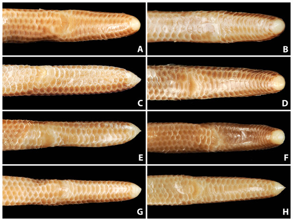 Comparison of ventral view of tails of holotype (NMW 15446:6, A) and paratypes of Epictia rioignis sp. nov. (B–H).