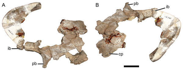 Main cranial fragments of SAM-PK-10630, holotype of Dicynodon huenei (=Daptocephalus huenei comb. nov.).