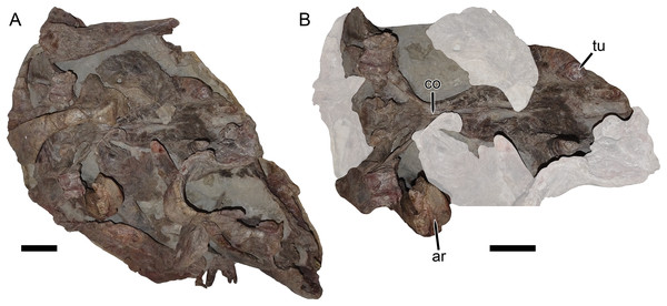 UMZC T1122–T1123, a fossil block containing the jumbled remains of two gorgonopsians and a specimen of Dicynodon angielczyki sp nov.