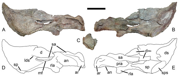 Left mandibular ramus of UMZC T1123, referred specimen of Dicynodon angielczyki sp. nov.