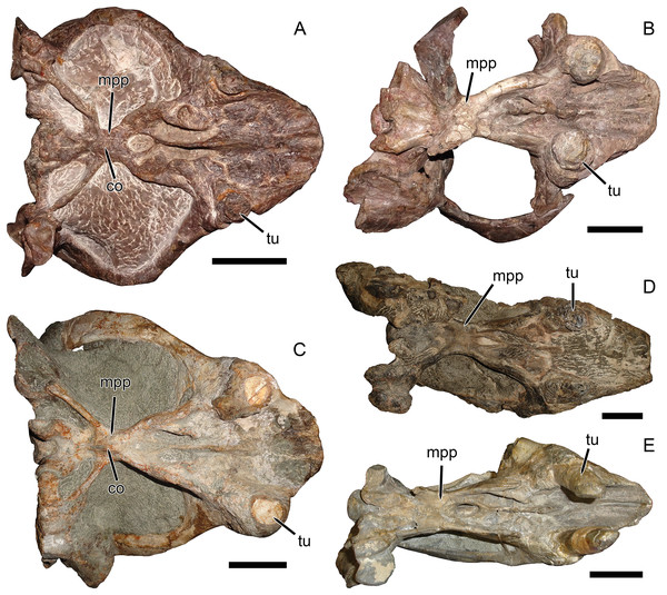 Palatal comparisons between Dicynodon and Daptocephalus.