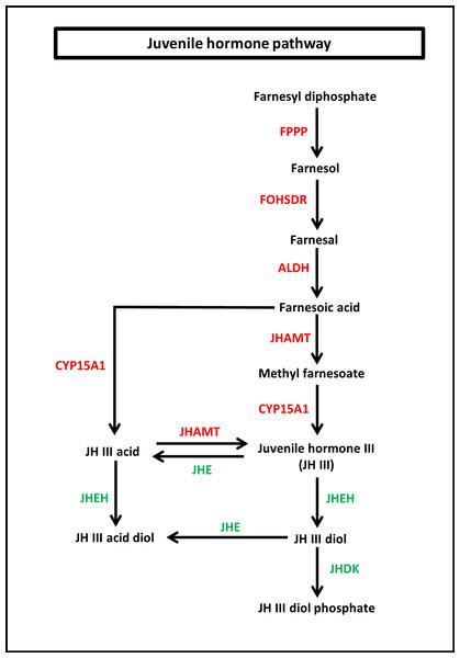 Juvenile hormone (JH) pathway of S. aquatilis.