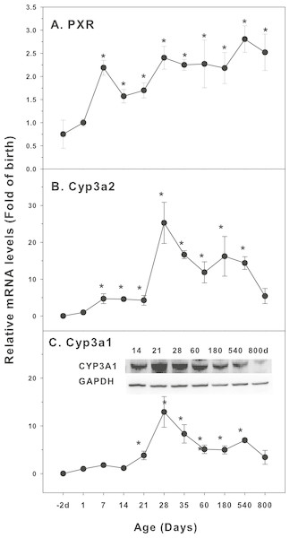 Age-related expression of CYP-3 family gene/proteins in livers of male rats.