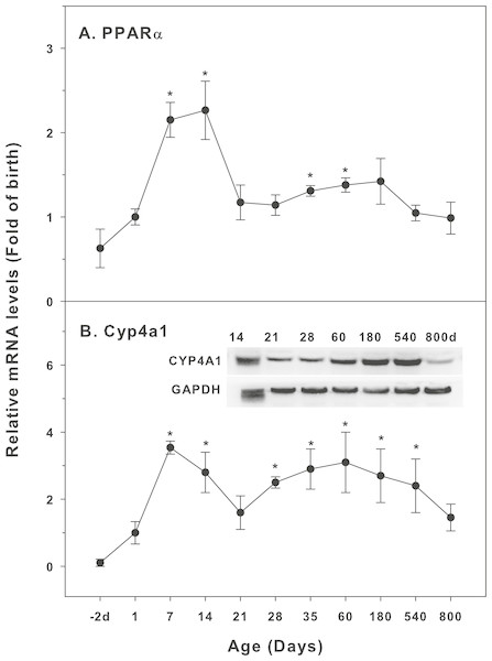 Age-related expression of CYP-4 family gene/proteins in livers of male rats.