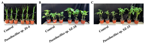 Plant growth promotion by some Paenibacillus strains.