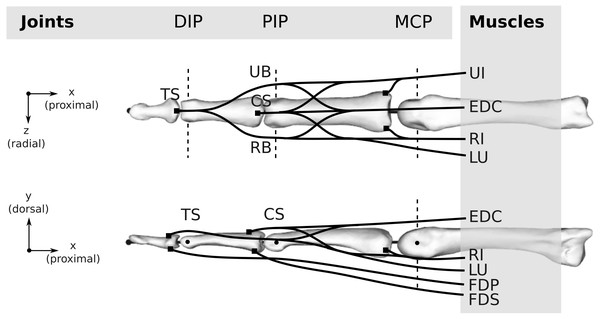 Topology of both the human and bonobo model, including the kinematic description with three joints (DIP/PIP/MCP) and the six muscles (FDP/FDS/EDC/RI/UI/LU).