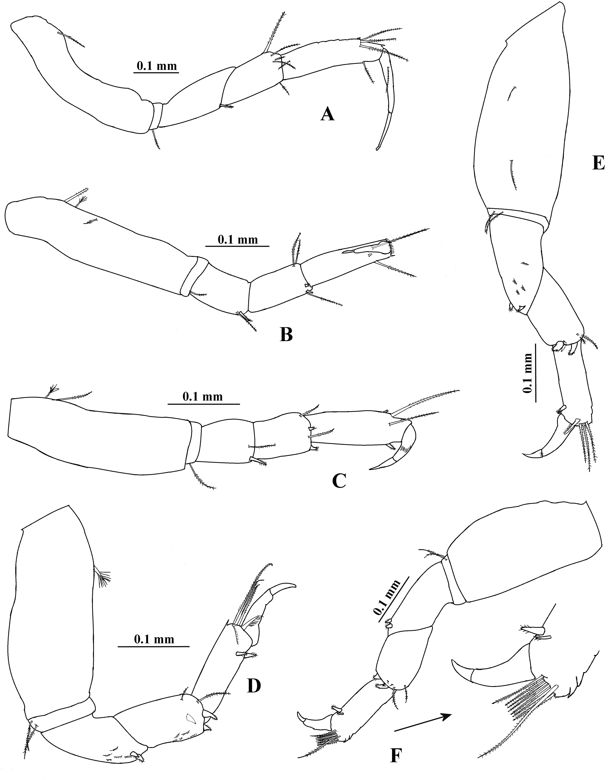 Redescription of Hargeria rapax (Harger, 1879) and