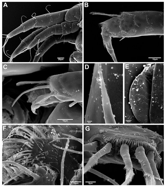 Hargeria chetumalensis sp. nov. manca and female from Raudales, Quintana, Roo. SEM images.