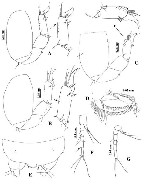 Hargeria rapax, topotype specimens USNM 65779.