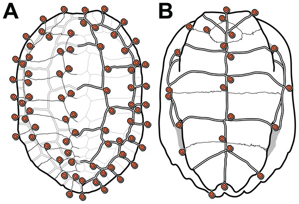 Carapace (A) and plastron (B) landmarks used in this study.