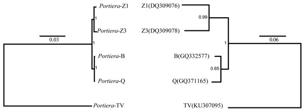 Bayes trees showing the phylogeny of Portiera and whitefly gene mitochondrial cytochrome oxidase I (COI) from five whitefly species.