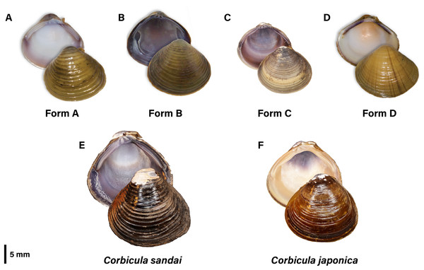 Photographic plate of the four invasive New World Corbicula Forms (A) A, (B) B, (C) C, and (D) D and the sexually reproducing (E) Lake Biwa endemic C. sandai and (F) estuarine C. japonica specimens genotyped in this study.