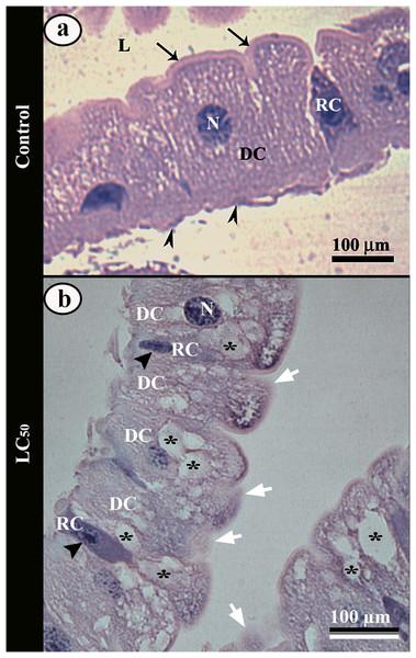Light micrographs of the midgut of third instar Aedes aegypti larva.