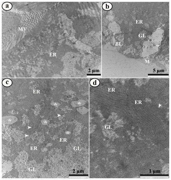 Transmission electron micrographs of the digestive cells from midgut of control third instar Aedes aegypti larvae.