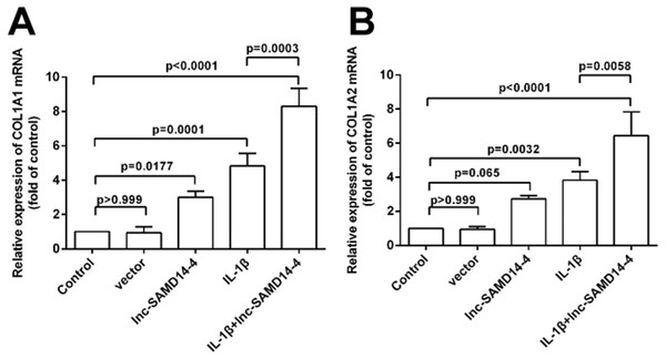 Effects of lnc-SAMD14-4 overexpression on the relative expression levels of COL1A1 (A), COL1A2 (B) in IL-1 β-treated human primary chondrocytes detected by QPCR.