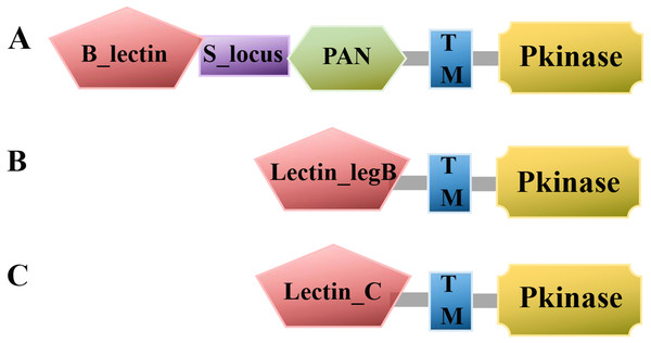 Line model of the three LecRLK classes.