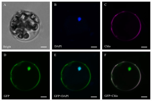 Subcellular localization of ThzLecRLK-C-type-2 in Arabidopsis thaliana.