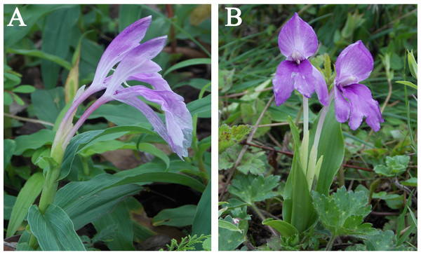 Study species Roscoea purpurea (A) and R. alpina (B) in their natural habitat.