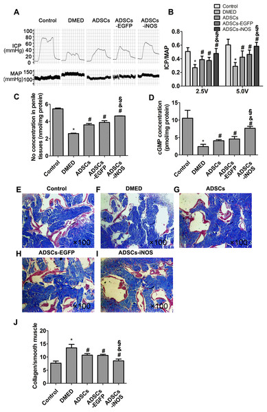 The transplantation of ADSCs-iNOS improved erectile function of DMED rats.