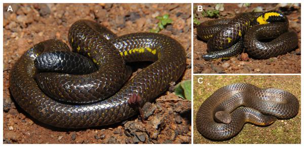 Tail display in uropeltid snakes.