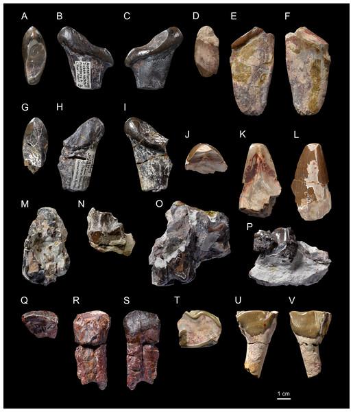 Diaceratherium lemanense (Perissodactyla, Rhinocerotidae) from Wischberg locality, Bern Canton, Swiss Molasse basin (MN1, Agenian, earliest Miocene).