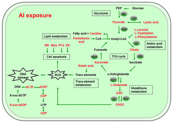 Global reactions in HT-29 cells after Al exposure.