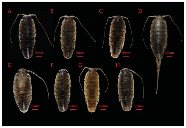 Figure 3: Paratypes of novel and re-described Hawaiian Ligia species.