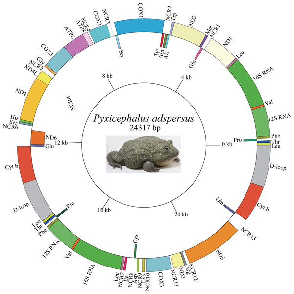 Graphical map of the mitogenome of P. adspersus.