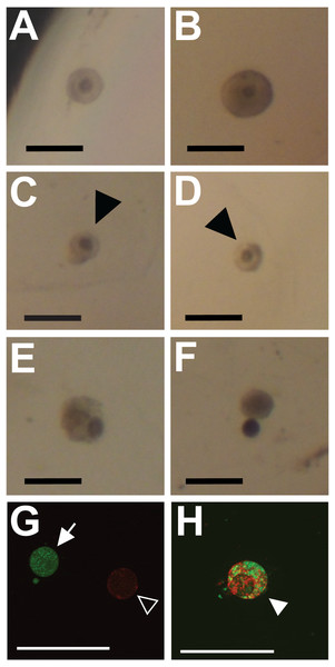 Representative images showing classification of follicles for integrity (A–F) and viability (G, H; cell death) outcome measures.