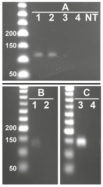 Representative images showing presence of feline RFRP3 (fRFRP3) and receptor transcripts in the domestic cat ovary.