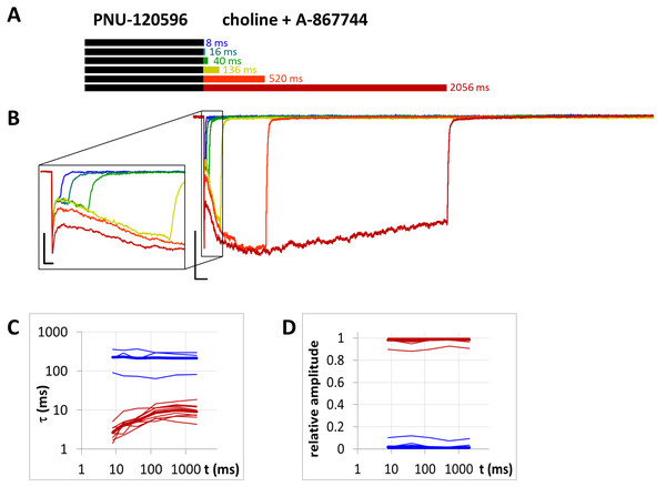 Currents evoked by different lengths of choline and A-867744 coapplication after 1 s preincubation by 1 µM PNU-120596.