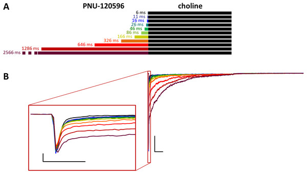 Effects of different lengths of PNU-120596 preincubation on choline evoked currents.