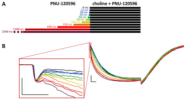 Effects of different lengths of PNU-120596 preincubation on currents evoked by coapplied choline and PNU-120596.