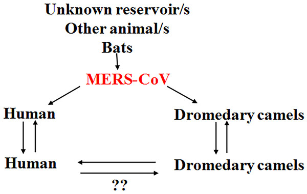 Current theories regarding the MERS-CoV/human/animal interaction.