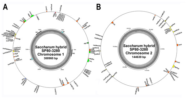 Circular images of the Saccharum hybrid SP80-3280 mitochondrial genome.