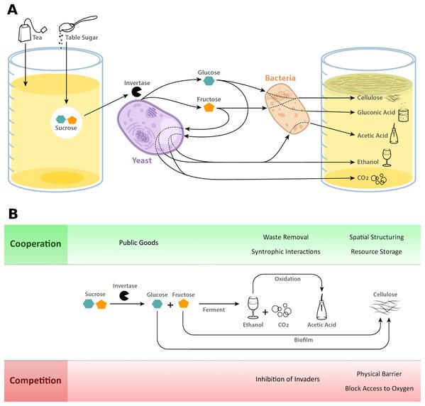 Kombucha metabolism and microbial interactions.