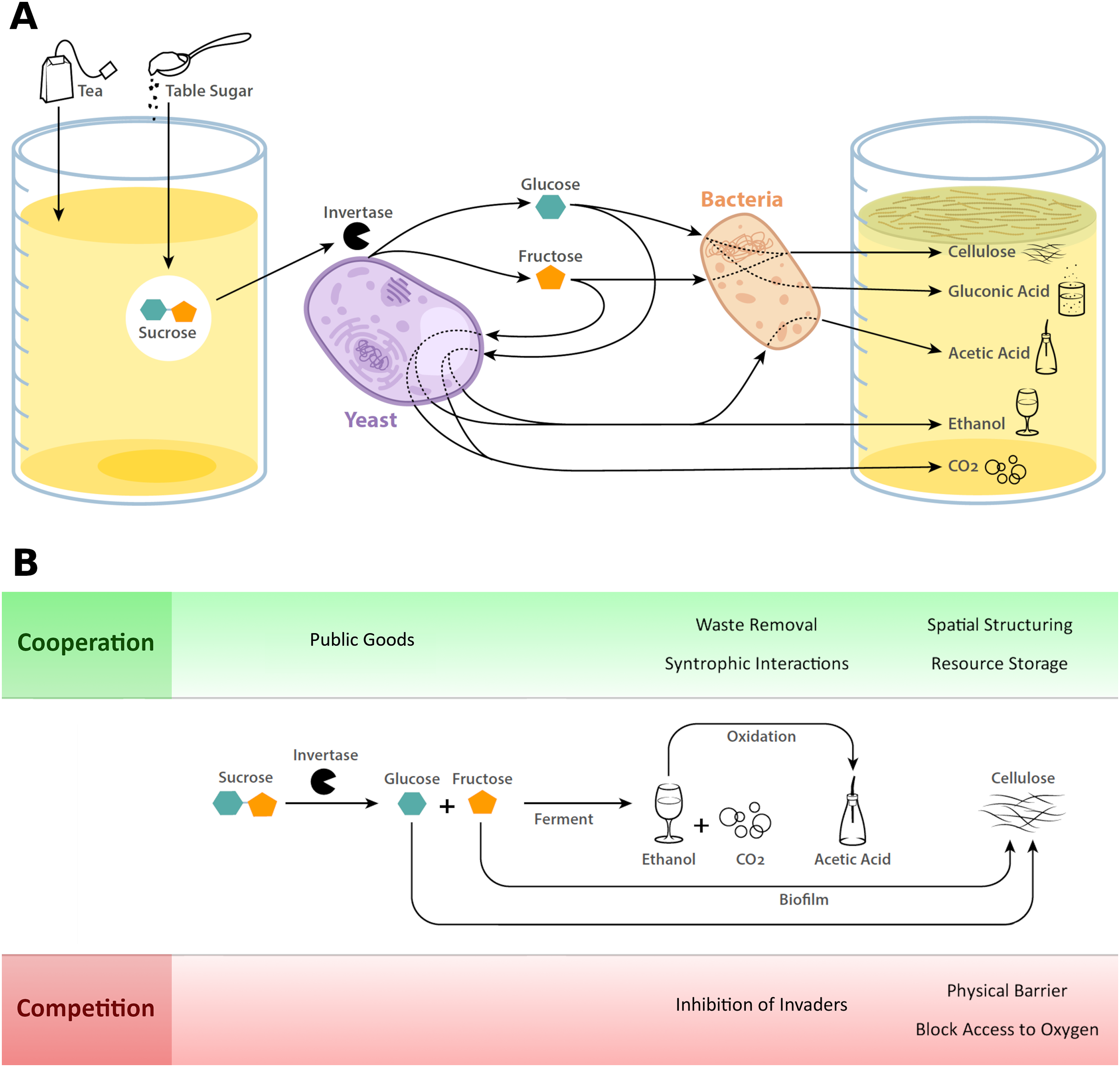 Kombucha: a novel model system for cooperation and conflict