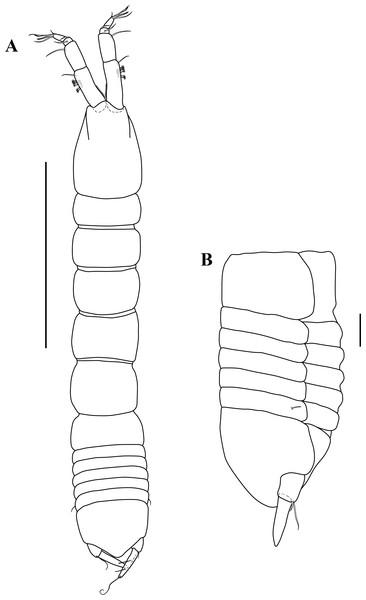 Habitus illustration.