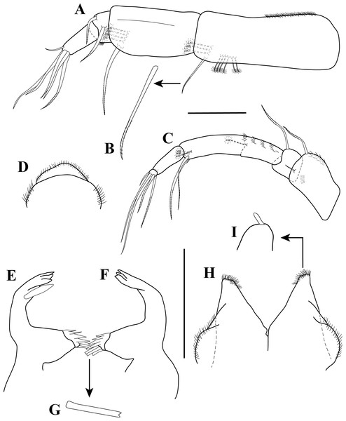 Antennule, antenna, and mouth parts illustrations.