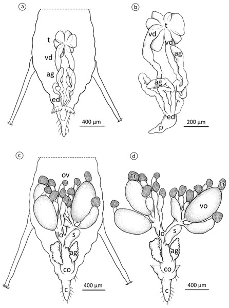 Schematic drawing presenting the localisation and morphology of male (A) and (B) and oviparous female (C) and (D) reproductive system of A. pisum.
